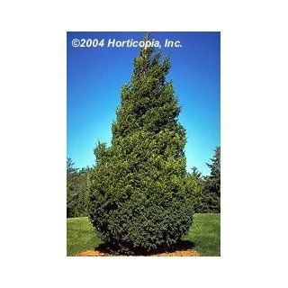 Eastern Red Cedar Tree   One Gallon Pot  Tree Plants  Patio, Lawn & Garden